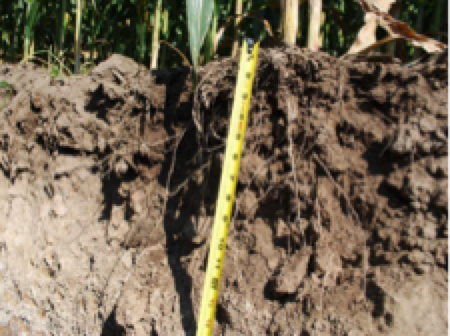 Healthy soil structure resulting from 8 years of cover crops. Note root penetration and granular appearance of soil.