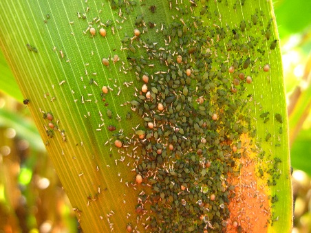 Corn leaf aphids on ear leaf