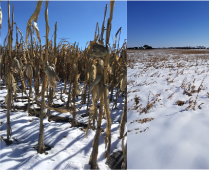 corn and soybeans in the snow