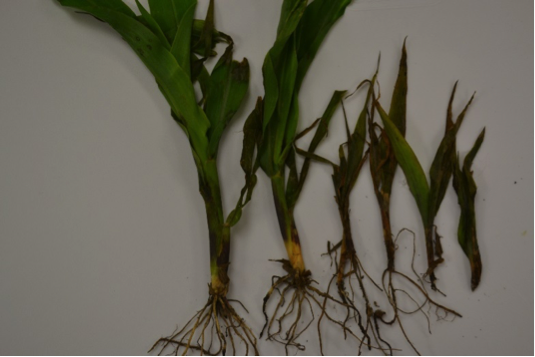 Pythium-infection-different-growth-stages