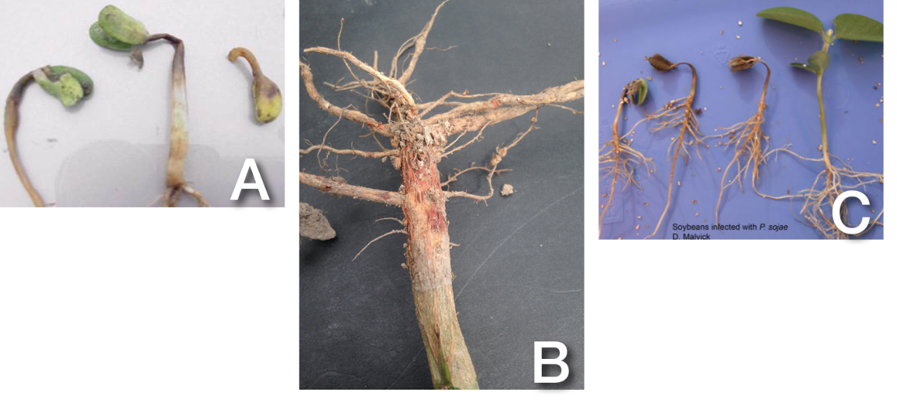 Figure 1. Soybean seedling diseases are hard to distinguish from one another. From left to right, seedlings are being affected by (A) Pythium, (B) Rhizoctonia, and (C) Phytophthora. A look at seedlings affected by chilling injury, water-logged soils, or disease can leave a scout with more questions than answers. Photo C courtesy of Dean Malvick, University of Minnesota.