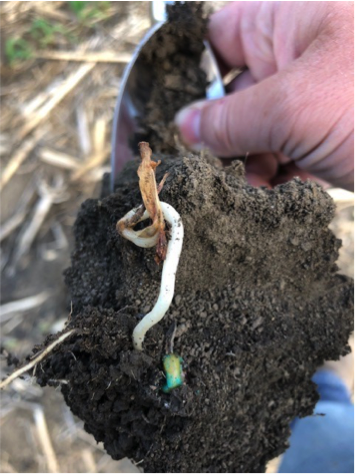 Figure 3. Seedling death due to cold soil temperatures.
