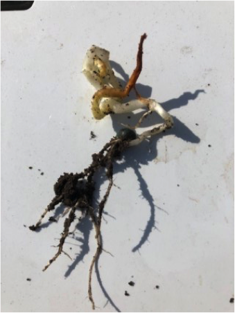 Figure 2. Twisting of mesocotyl because of cold soil temperatures.