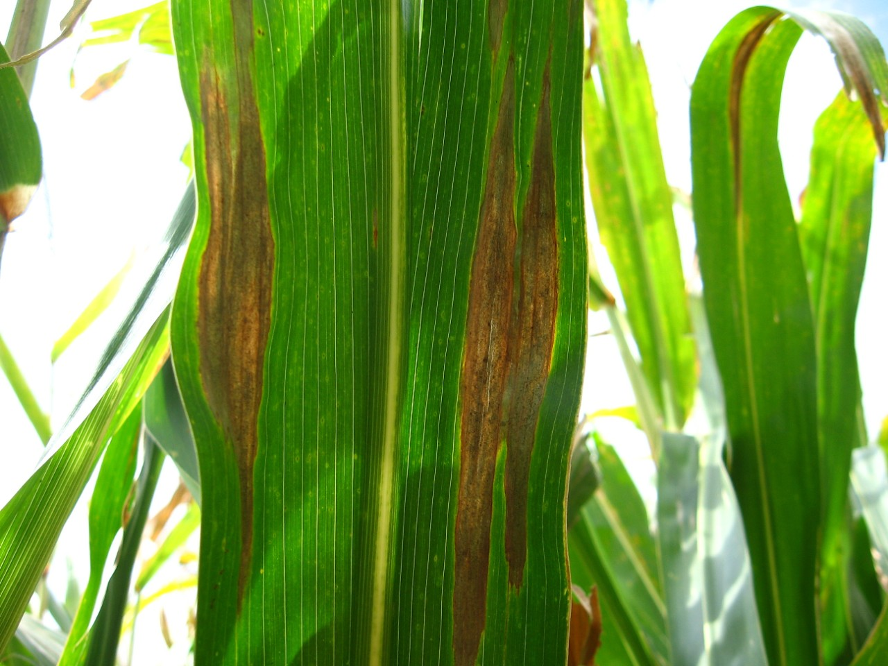 Figure 1. Elliptical or cigar-shaped lesions typical of northern corn leaf blight.