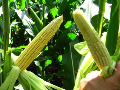 Figure 5. Normal ear development on left and poorly pollinated on right