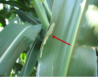 Figure 1. Corn blotch leafminer feeding and tunneling, resulting in corn leaf damage