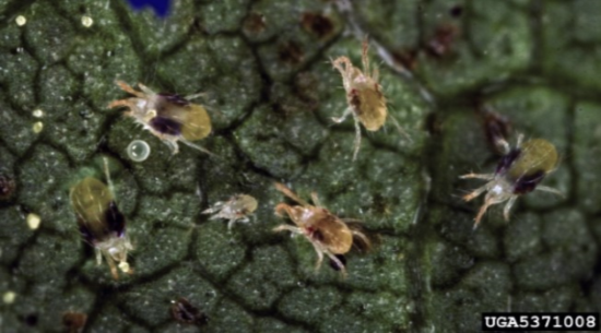 Two-spotted spider mite adults. Photo courtesy of David Cappaert, Michigan State University, Bugwood.org.