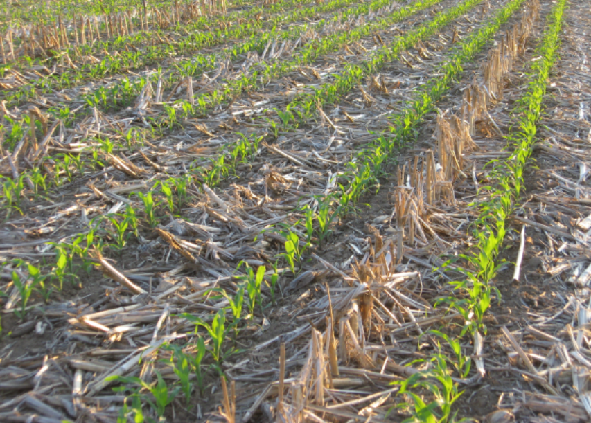 field of corn in a no-till field