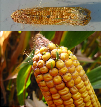 Figure 1. Corn exhibiting premature sprouting of corn kernels.