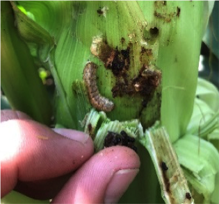 Western bean cutworms with typical orange head and two black triangles.