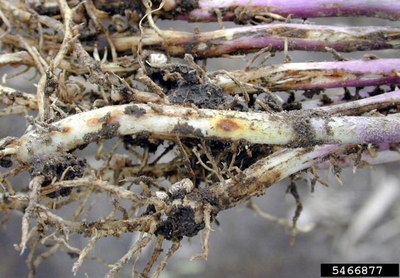 Rhizoctonia lesions on soybean stems. Picture courtesy of Daren Mueller, Iowa State University, Bugwood.org.  5466877