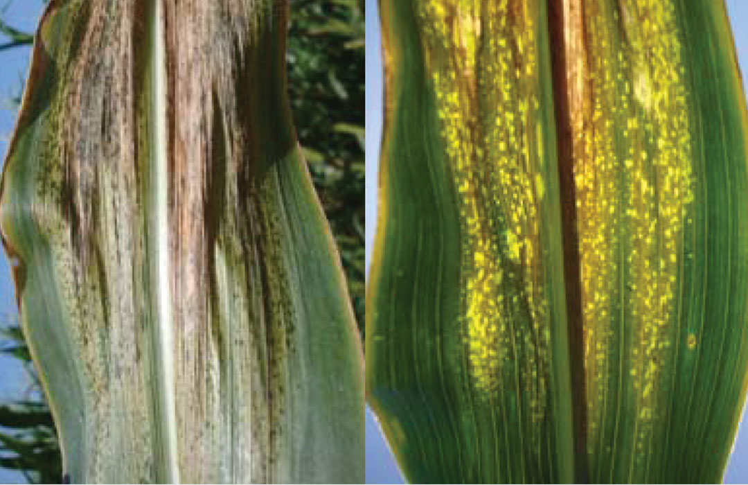 An example of Goss's Wilt and Leaf Blight on Corn leaves.