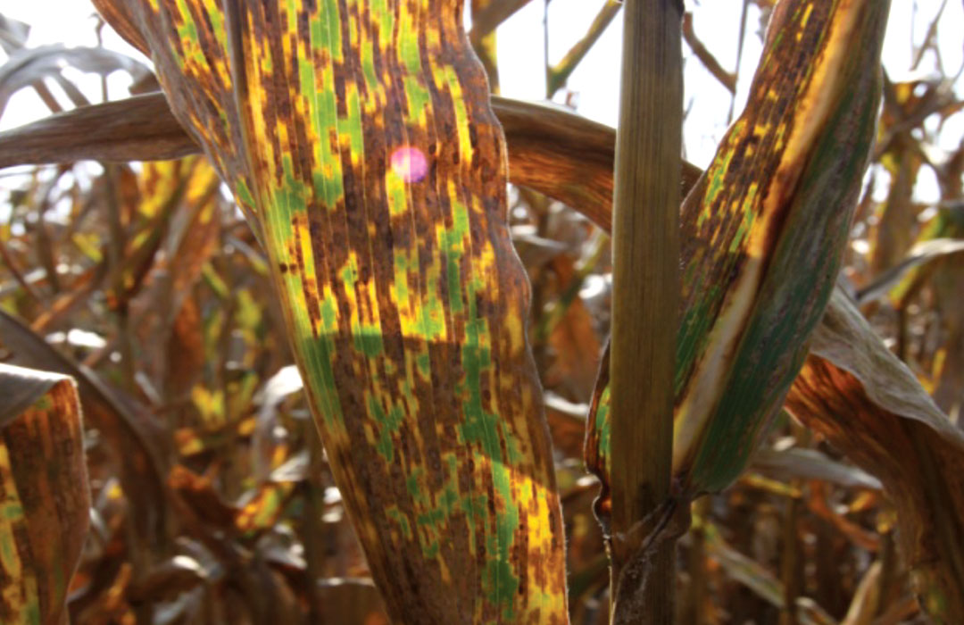 An example of Gray Leaf Spot on corn leaves.