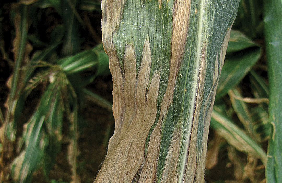An example of Northern Corn Leaf Blight.
